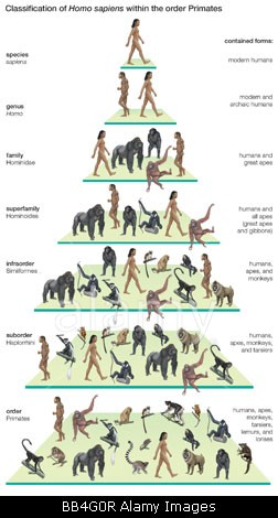 Classification tree of the species Homo sapiens (modern humans) within the order Primates.