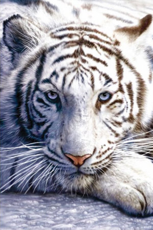 white-tiger2