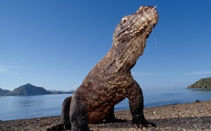 komodo-dragon-wallpapers-1680x1050