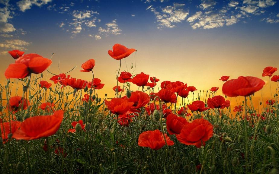 Poppy-HD-Wallpapers-Free-Download-10