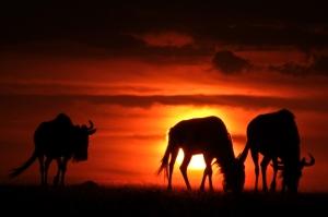 Wildebeest-Sunset4